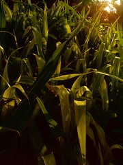 At Sunset (The MaXeR) Tags: corn farm palm maze
