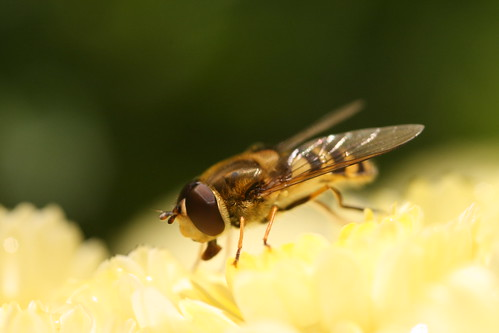 Hoverfly 3