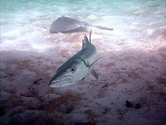 PICT0099 (JoseQ) Tags: coral mar belize caribe submarinismo