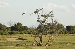 (Nicola Zuliani) Tags: africa fauna kenya natura safari animali animale tsavo gazzelle tsavoeast zebre tsavoest acquila nizu nicolazuliani wwwnizuit
