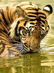 tiger (6)a