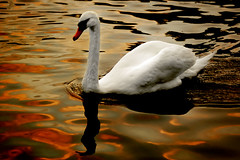 The Swan (Flying Fin) Tags: fab thames swan bravo expressionism expressionist realism naturesfinest blueribbonwinner eow supershot platinumphoto anawesomeshot impressedbeauty infinestyle avianexcellence diamondclassphotographer flickrdiamond naturewatcher 230explore131107