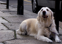 waiting outside (alicudi) Tags: dog cane golden joy retriever attesa amoremio thelittledoglaughed mariateresadellaquila