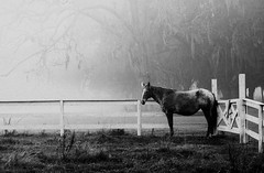 Winter Woes (Sco C. Hansen (TheHansenGallery.com)) Tags: bw horse sc scott blackwhite moss farm spanish pasture d100 hansen beaufort lowcountry beaufortcounty scotthansen aplusphoto diamondclassphotographer flickrdiamond