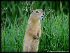 Richardson's Ground Squirrels - aka - gopher, picketpins or flickertails (westrock-bob) Tags: county summer copyright dog canada detail green nature up grass animal fur photography three spring squirrel close bob ab ground hills american alberta prairie gopher whistle albertacanada allrightsreserved westrock marmots groundsquirrel tawny richardson kanada kanata threehills richardsons flickertail cuthill kneehill westrockbob picketpin vosplusbellesphotos bobcuthillphotographygmailcom cynomysludoviciana