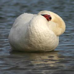 I Am Sooooo Soft! (Jay:Dee) Tags: birds swan preening photofaceoffwinner pfogold