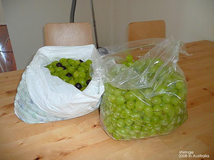 在蔬菜工廠的福利, 可以拿無數多的無籽葡萄,超甜超好吃!一公斤要7.98元爆貴