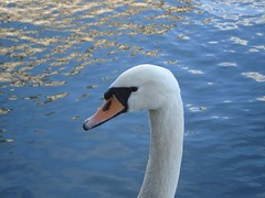 swan (Francesco Littmann - Doc Savage) Tags: blue light sun white france color nature water animals river swan europe day fiume rivière strasbourg cygne cigno