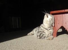 Moonie loves the sun....and Poul's foot stool! (Jaedde & Sis) Tags: sun black cat kat explore gato wrestler katze thumbsup stool britishshorthair twothumbsup extacy unanimous moonshade flickrchallengegroup 15challengeswinner jesterchallengewinner friendlychallengewinner challengefactorywinner thechallengefactory tuw121 tuw033 pregamewinner
