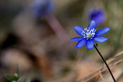 fiorellino (photolupi) Tags: macro primavera dof trento 2008 fiore azzurro luigi trentino insetto blueribbonwinner piazzi anawesomeshot goldstaraward photolupi luigipiazzi
