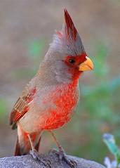Pyrrhuloxia (Cardinalis sinuatus) (wplynn) Tags: arizona bird birds pyrrhuloxia cardinalis sinuatus saguaroforest wildbirdsunlimited wbu