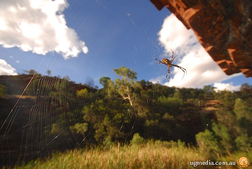 Argiopes spider in web