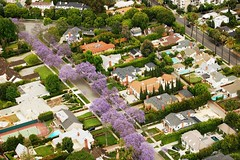 Jacaranda Season (Atwater Village Newbie) Tags: california ca trees west tree cali la fly flying losangeles los chopper tour angeles aerial helicopter socal cal hollywood flowering southerncalifornia westhollywood southland copter heli weho helicoptertour hwood lahelicoptertour aerialfave