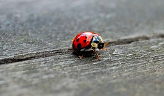 Ladybird (nEoPOL) Tags: red brown color colour macro nature field dark insect grey dof ladybird ladybug form depth breathtaking neopol of platinumheartaward breathtakinggoldaward