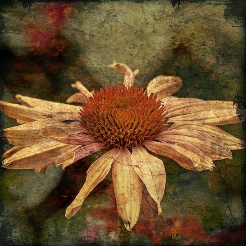 凋谢的花朵