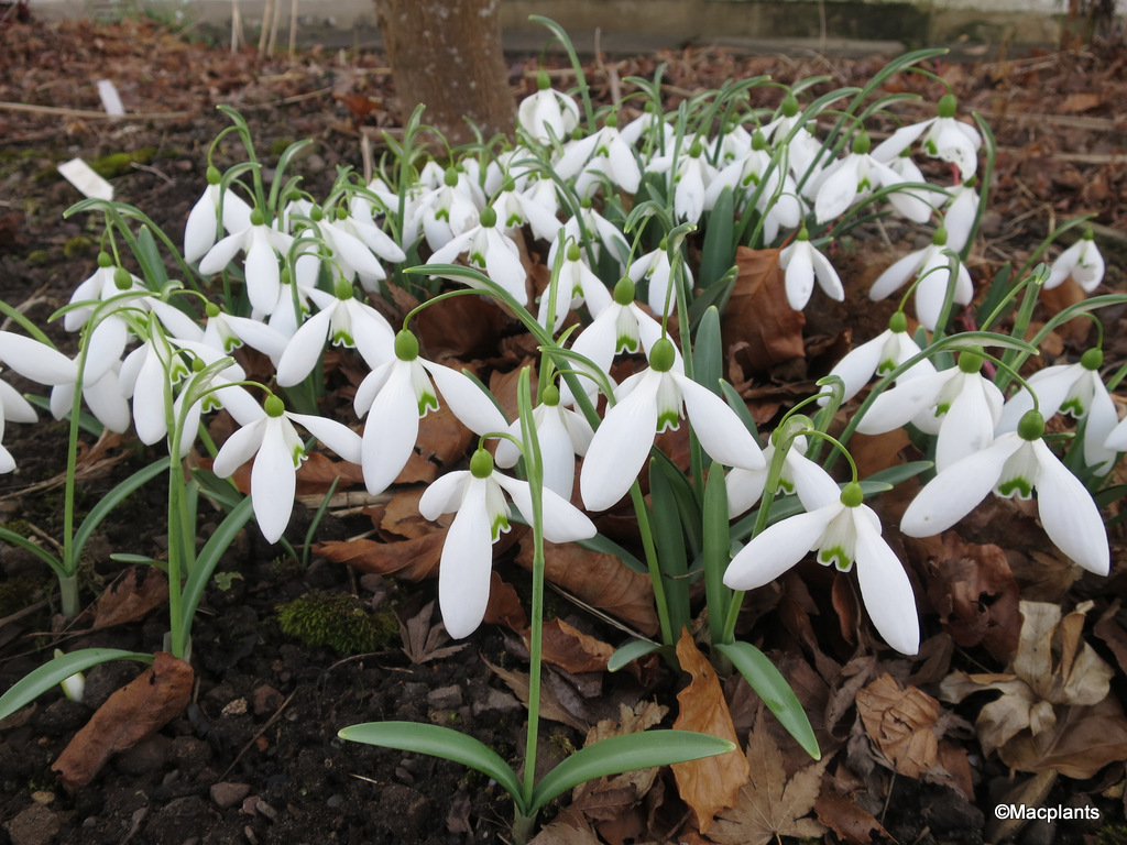 Galanthus 'Little Ben'