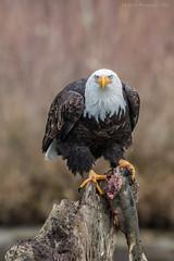 Looking Right At Me. (elliott845) Tags: eagle baldeagle skagitriver washington washingtonstate pacificnorthwest pnw bird animal nature birdofprey raptor wildlife