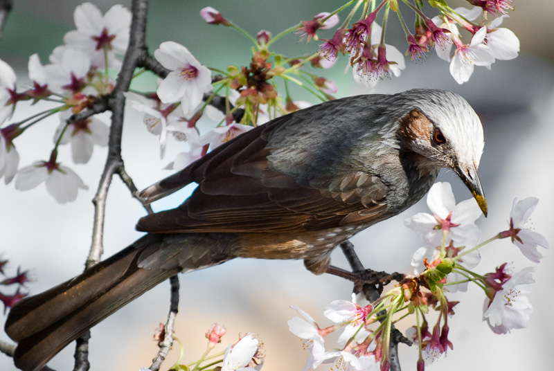 bird in sakura_8200
