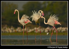 Greater Flamingos fighting (wildlens) Tags: wild india color colour bird nature water fauna asian flamingoes fight colorful asia natural wildlife indian flamingo  beak feathers sigma rest colourful portfolio fighting sanctuary gujarat wetland plumage gujrat wildfowl 170500 phoenicopterus roseus jadeja thol manjeet yograj ourfavourites manjeetyograjjadeja