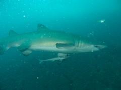 Grey Nurse drive by (Jane | Shipwrecks and Sharks) Tags: diving southwestrocks greynurseshark fishrock canong11