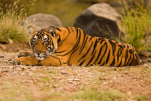 20071014-_MG_1127-TigerSad