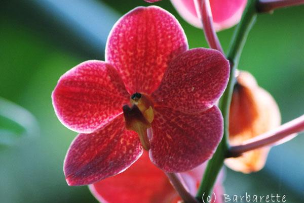 orchidée-rose2
