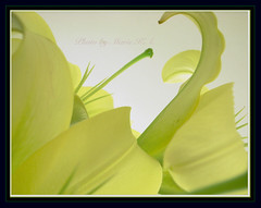 Odette (Marie Eve K.A. (Away)) Tags: ballet plants flower macro green nature beauty yellow closeup flora soft lily petal botanic swanlake elegant elegance    supershot  golddragon  platinumphoto flickrplatinum superbmasterpiece diamondclassphotographer flickrdiamond citrit goldstaraward   07y11m18d173730