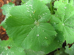 alchemilla mollis (lauraknosp) Tags: garden dew alchemillamollis ladysmantle