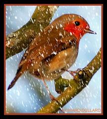 ROBIN IN THE SNOW (Edward Dullard Photography. Kilkenny, Ireland.) Tags: kilkenny ireland winter snow bird robin photographic dullard ysplix onlythebestare edwarddullard societyedward