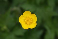 buttercup (Leo Reynolds) Tags: blur flower canon eos iso100 flora f71 135mm 30d oneflower 0005sec 1ev hpexif leol30random groupobjectblur grouputata xratio32x xleol30x