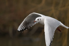 IMG_2620 (Hasan Karagülmez) Tags: bird canon flying gull 30d ef70200mmf4lisusm hasankaragulmez