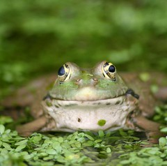 Mona Lisa smile (Brett Terry) Tags: cute water smile pond monalisa amphibian frog memorable theunforgettablepictures betterthangood brettterry