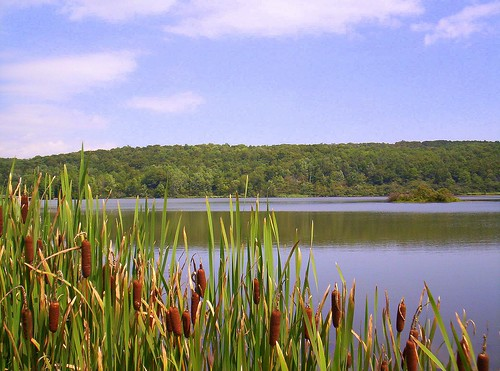 Cattails1