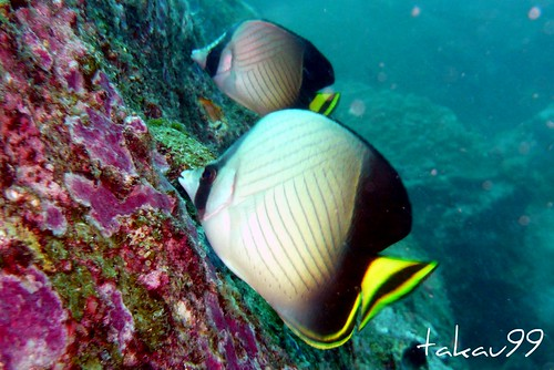 Pair of Indian Vagabond Butterflyfish, Thailand