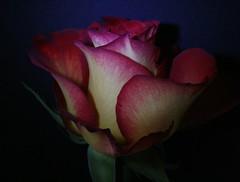 ....MOONLIGHT ROSE (h.nijssen5 IN SURINAME NOW) Tags: naturaleza flower macro luz nature fleur beautiful rose night noche licht nacht flor rosa roos romance amour linda romantic moonlight soir donker bloem luzdelaluna flowerwatcher macroflowerlovers