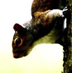 Squirrels..All Around (mightyquinninwky) Tags: tree geotagged squirrel kentucky lexingtonkentucky urbanwildlife downtownlexington picnik orton chevychase fontaineroad fayettecountykentucky centralkentucky geo:lat=38028563 thebluegrassstate geo:lon=84488093