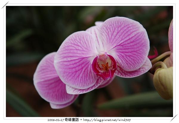 DSC_2588蝴蝶蘭