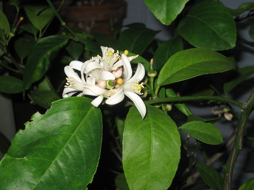 meyer lemon blooms from my house tree