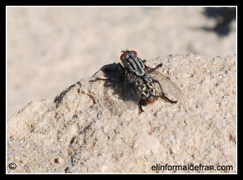 Macro de mosca