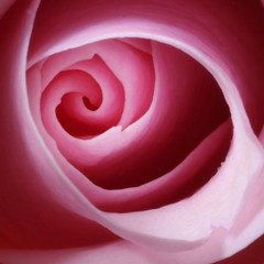 the inner rose (Cory.Lum) Tags: lightpainting paintingwithlight getty pinkrose corylum