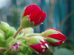 Geranio (jjbc) Tags: flowers espaa flores flower garden spain flor jardin rosa petunia narciso terraza jacinto manzanilla maceta geranio bulbo tulipan bulbos clavel fresia alheli gervera