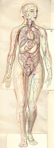 anatom37 6