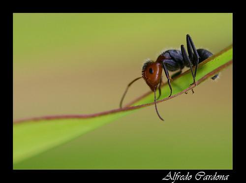 Hormiga (ant)