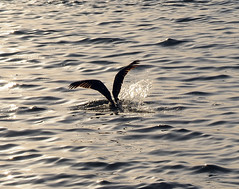 Pelican Diving for Food at Dusk (ShootsNikon) Tags: nature water landscape fishing sailing florida scenic bridges beaches sarasota af d3 waterscape 24120mm nikon 13556 mexico way nikkor gulf judy d d3 intercoastal malley