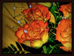 flaming roses / Roses en feu (unonymous) Tags: flowers roses orange macro green nature yellow drops close lightroom {places}