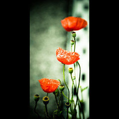 Verticals: Red poppy (manganite) Tags: flowers red plants nature topf25 colors beautiful beauty japan sepia digital dark geotagged interestingness topf50 nikon colorful asia pretty dof bokeh tl framed blossoms explore poppy  onecolor nippon desaturated d200 nikkor dslr toned mashiko vignette nihon tochigi kanto naturesfinest catchyclors june17 thecolorred interestingness403 i500 18200mmf3556 utatafeature manganite nikonstunninggallery ipernity june172006 geo:lat=36470001 geo:lon=140100006 fiveflickrfavs theperfectphotographer date:year=2006 date:month=june format:orientation=portrait format:ratio=21