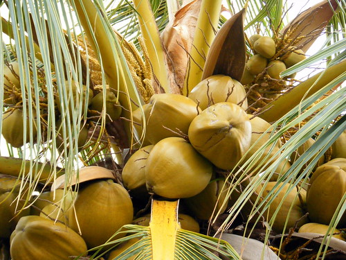 Coconut Tree Bounty