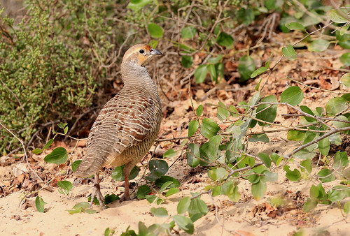 Francolin gris - Wasit Nature Reserve/Charjah/UAE_20170115_165