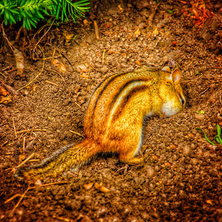 Edwards Garden ~ Toronto Ontario Canada ~ Chipmunk  Burying Treasure