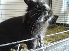 P5100203 (sotepetsenu) Tags: bunny ophelia